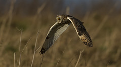 Owl - Mesmersing Eye (Ann and Chris) Tags: stunning eye shortearedowl shorteared owl close flying low beautiful impressive