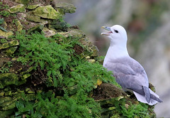 Fulmar (robin denton) Tags: fulmar bemptoncliffs bempton rspb rspbreserve bird seabird nature wildlife yorkshirecoast