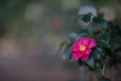 Camellia sasanqua cv. Fujikoana (Jim Mayes) Tags: canon eos digital 85mm ef ef85mmf12lusm 大阪市立長居植物園