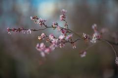 Cerasus ×subhirtella (Miq.) Masam. & Suzuki 'Autumnalis' (Jim Mayes) Tags: canon eos digital 85mm ef ef85mmf12lusm 大阪市立長居植物園