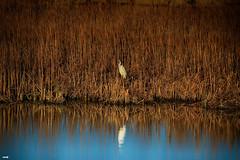 Entre el follaje (candi...) Tags: ave bassa agua laguna deltadelebro naturaleza nature fauna sonya77ii reflejo airelibre egrettagarcetta