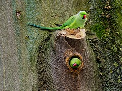 Ipswich Old Cemetery (Chris Baines) Tags: ringnecked parakeet old ipswich cemetery suffolk hank you