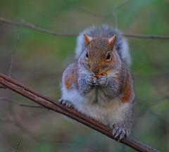 Grey squirrel (Adam Swaine) Tags: adamswaine canon squirrel wildlife sussex parks animals england english naturelovers nature naturesfinest naturewatcher beautiful 2020 britain british woodland woodlandfloor westsussex uk ukcounties counties urban hove sciuruscarolinensis