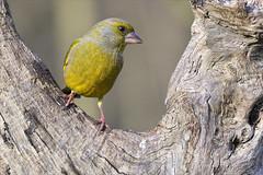 Proud to be a greenfinch (Arunte) Tags: arunte marcofrancini nikonz50 uccello verdone tronco legno parcodellapiana sestofiorentino birdwatching stagnidellaquerciola europe greenfinch chlorischloris