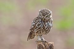 Little Owl (drbut) Tags: littleowl athenenoctua avian bird birds woodland farmland grassland countryside wildlife nature