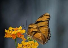 Eye On Iulia (ACEZandEIGHTZ) Tags: orange julia dryasiulia flyinginsect nikond3200 nature bokeh butterfly wings winged flowers lantana macro closeup