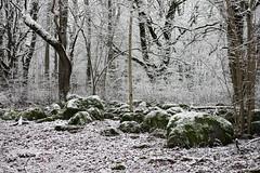 Lehmja tammik (Jaan Keinaste) Tags: pentax k3 pentaxk3 eesti estonia harjumaa raevald jürialevik lehmjatammik talv winter puu tree kivi stone lumi snow smcpentaxamacro2850