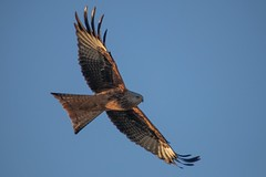 Red kite (haslerbryan) Tags: winter january2020 canon80d canoneos sigmalens bluesky redkite bird avian onthewing inflight hertfordshire england uk greatbritain greatamwell elements