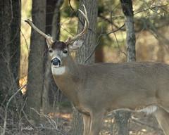 pointless (Judecat (settling in for winter)) Tags: deer whitetaildeer buck antlers nature wildlife pennsylvaniawildlife