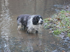 Now what? It's only muddy water.Explored. (dave p brecks) Tags: englishspringerspaniel panasonicdmcg80 olympus60mmmacro explored