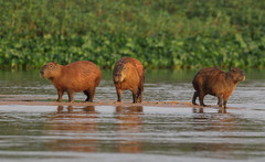 When The Jaguar Got A Little Closer ... (AnyMotion) Tags: capybara wasserschwein hydrochoerushydrochaeris mammal säugetier water wasser sandbank family familie 2019 anymotion sãolourençoriver pantanal matogrosso brazil brasilien southamerica südamerika américadosul travel reisen animal animals tiere nature natur wildlife 7d2 canoneos7dmarkii jaguarmorninghunt