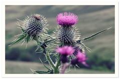t h i s t l e • d o • f o r • n o o (GOOD•NEWS•SNAPS) Tags: thistle scotland