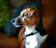 Hundeportrait... (r.wacknitz) Tags: dog portrait jackrussel terrier diego animal nikon lightroom