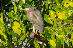 Green in the greenery (ChicagoBob46) Tags: greenheron heron bird jndingdarlingnwr flower sanibel sanibelisland nature wildlife coth5 ngc sunrays5 npc naturethroughthelens