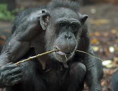 chimpanzee margot artis BB2A0165 (j.a.kok) Tags: animal artis africa afrika aap ape mammal monkey mensaap primate primaat zoogdier dier chimpansee chimpanzee pantroglodytes margot