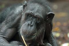 chimpanzee margot artis BB2A0177 (j.a.kok) Tags: animal artis africa afrika aap ape mammal monkey mensaap primate primaat zoogdier dier chimpansee chimpanzee pantroglodytes margot