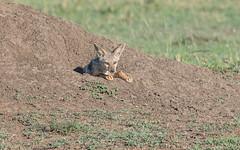 Cautious Jackal (Tris Enticknap) Tags: africa kenya masaimara masaimaranationalreserve canismesomelas blackbackedjackal jackal