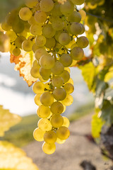 Golden (_aires_) Tags: switzerland epesses cantonofvaud iris aires grapes translucent translucence translucidez goldengrapes canoneos5dmarkiv canonef24105mmf4lisusm