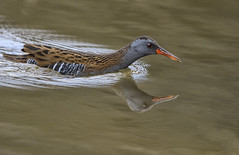 The Swimmer (photogramps) Tags: water rail waterbirds waterfowl wildlife reeds reedbeds wwt rspb
