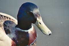fits the bill (Mano Green) Tags: duck bird britain british wildlife northwich cheshire england uk spring april 2017 canal waterways river weaver canon eos 300 70300mm lens kodak gold 200 colour mallard