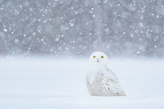 Neige (jlf_photo) Tags: snowy owl harfang des neiges hiver snow winter neige wildlife