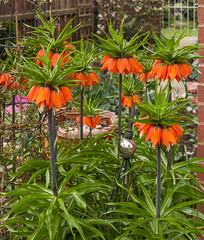 Fritillaria imperialis: Group of Plants (sfb_dot_com) Tags: middleeast origin cooltemperate climate cliffs flower whorls himalayas stamens liliales afghanistan leaves liliaceae lanceolate iran lifespan montane cultivated cream spring foliage asia apertureplantimagelibrary leaf angiosperm anthers geophyte iraq monocot pakistan temperate scrub reproductive perennial stigma glabrous deciduous india flowers poisonous style rocks orange bulbous habit tepals