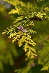 Lawson's Cypress (pstenzel71) Tags: bäume natur pflanzen lawsonscypress lawsonsscheinzypresse chamaecyparislawsoniana tree darktable bokeh ilce7rm3 sel90m28g