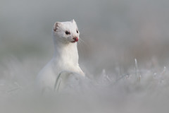 Hier riecht's nach Maus (bertheeb) Tags: hermelin wildtiere wiesel nikon d850 500mmvr