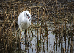 Lunch Is Served... (Fourteenfoottiger) Tags: egret wildbird bird food fishing hunting wetlands reedbeds wter river britishcountryside britishwildlife littleegret