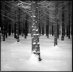 | (petersoloway) Tags: 120film film yashicamat124g squarebw middleformat 6x6 negative analog scan pyrocat ilford ilfordfilm ilfordhp5 hp5 iso400 devpyrohd devpyrocat tree forest snow cold freeze winter pyrohd