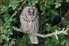 Long-eared Owl (image 1 of 2) (Full Moon Images) Tags: wildlife nature bird birdofprey cambridgeshire fens longeared owl