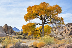 What a Beauty - Lonely Tree in Alabama Hills, California (W_von_S) Tags: alabamahills california kalifornien usa us vereinigtestaaten unitedstates america amerika southwest südwesten eastsierranevada easternsierra landschaft landscape paysage paesaggio paisaje natur nature felsen rocks farbig colorful mountains berge outdoor lonepine tree baum lonelytree einsam beautiful schön autumn herbst fall november 2019 wvons werner sony sonyilce7rm2