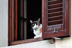 Una gatta alla finestra - A cat at the window (Eugenio GV Costa) Tags: approvato gatto gatti cat cats animal animali finestra domesrici window animalidomesrici