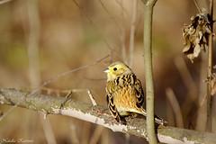 IMG_8522 (natalia.kaszura) Tags: bird birds birdwatching wildlife wild wildnature wildanimal wildbird forest bunting