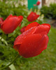 Cultivated Tulips (cultivar unknown)