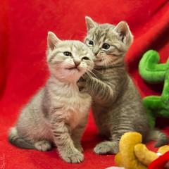 20171216_1707c (Fantasyfan.) Tags: kuunkissan european breed kittens biting fantasyfanin