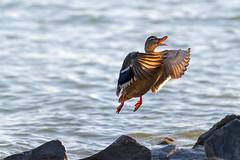 1120 Balaton Duck 2 (Hrvoje Simich - gaZZda) Tags: outdoors nopeople water animals birds duck takeoff wings lake nature balaton hungary europe travel nikon nikond850 sigma sigma150500563 gazzda hrvojesimich