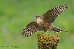 Sparrowhawk (Jim Crozier) Tags: sparrowhawkscotland2752018 canoneos1dx canon300mmf28