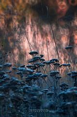 ... (Fotagi) Tags: m42 mc3m5ca działka jesień liście bokeh plants trawy autumn nature meadow