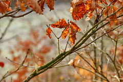 More January sunshine (tonguedevil) Tags: outdoor outside countryside winter nature woodland trees leaves morning january oak colour light shadows sunlight sunrise