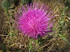 Thistle (skipmoore) Tags: wildflower bloom thistle
