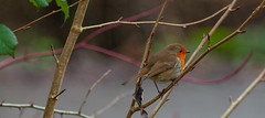 Sussex Robin.. (Adam Swaine) Tags: robin robinredbreast robins birds gardenbirds englishbirds britishbirds naturelovers nature naturesfinest uk ukcounties wildlife woodland sussex animals westsussex 2020 counties countryside beautiful adamswaine