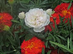 Белая роза (lvv1937) Tags: flickrunofficial coloursofflickr beautifullight amateurs цветы роза бархотки