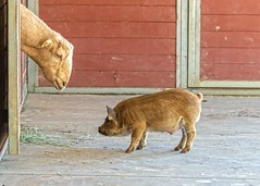 Goat meets piglet (suzeesusie) Tags: goat piglet pig hdr sanctuary animalsanctuary farm farmanimal rescued