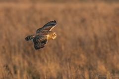 Short Eared Owl -8066 (WendyCoops224) Tags: 100400mmlmk2 80d fens canon eos ©wendycooper asio flammeus short eared owl