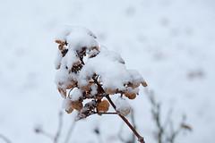 Classic Winter Snow On Hydrangea (Modkuse) Tags: winter snow flower flowers hydrangea cold nature natural natureart art artphotography artistic artisticphotography photoart fineartphotography fineart nopostprocessing classicchrome captureonefujifilmclassicchromesimulation fujifilm fujinon fujifilmxh1 xh1 fujinonxf55200mmf3548rlmois xf55200mmf3548rlmois