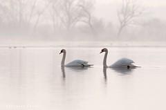 Swans on the Biebrza river / Łabedzie na rzece Biebrza (Grefer) Tags: swans river biebrza spring poland nikkor300mmf4afs nikond300s nikkortc14eii nature wildlife birds white cygnusolor