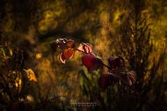 ... (Fotagi) Tags: m42 mc3m5ca bokeh działka jesień liście trwawy autumn plants leaves