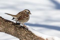 White throated sparrow from last winter (Lynn Tweedie) Tags: wood beak tail wing canon ngc animal snow 7dmarkii missouri winter white bird eye tree sigma150600mmf563dgoshsm eos feathers whitethroatedsparrow branch