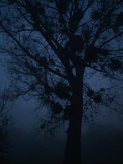 tree_in_the_dark (Joerg Esper) Tags: deutschland de germany rheinlandpfalz rheinland eifel kretz natur nature nacht night nightshot nightscape tree baum mistel mistletoe sprigofmistletoe mist misty nebel dunst dark darkness olympus olympusomdem10markii olympusmzuikodigital17mm118